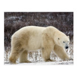 Polar Bear Ursus maritimus) in Churchill Postcard
