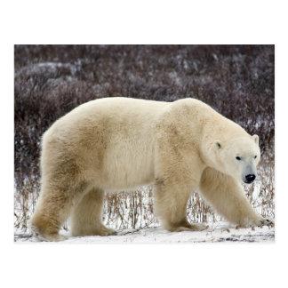 Polar Bear Ursus maritimus) in Churchill Post Card