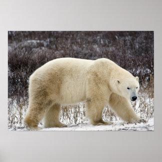 Polar Bear Ursus maritimus) in Churchill Poster
