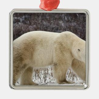 Polar Bear Ursus maritimus) in Churchill Square Metal Christmas Ornament