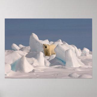 polar bear, Ursus maritimus, in rough ice on 2 Poster