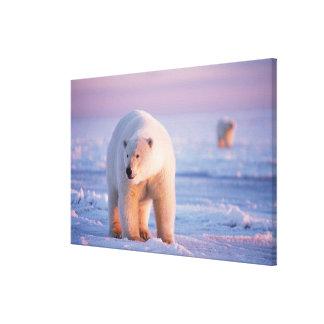 polar bear, Ursus maritimus, large boar on the Canvas Print