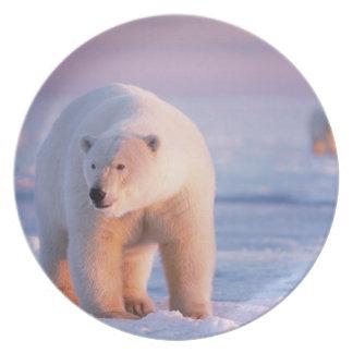 polar bear, Ursus maritimus, large boar on the Dinner Plate