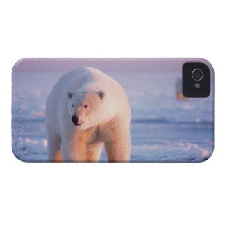 polar bear, Ursus maritimus, large boar on the iPhone 4 Case-Mate Case