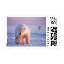 polar bear, Ursus maritimus, large boar on the Postage