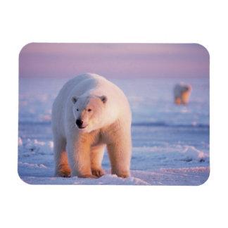 polar bear, Ursus maritimus, large boar on the Rectangular Magnets