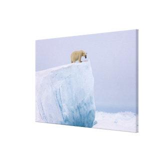 polar bear Ursus maritimus on a giant Stretched Canvas Print