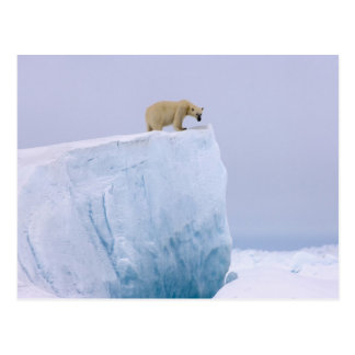 polar bear, Ursus maritimus, on a giant Postcard