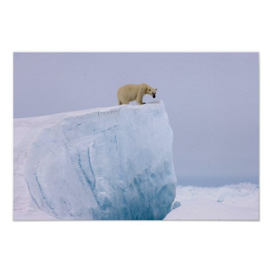 polar bear, Ursus maritimus, on a giant Poster