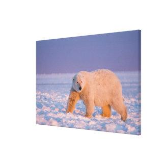 polar bear, Ursus maritimus, on ice and snow, 2 Canvas Print