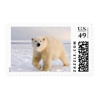 polar bear, Ursus maritimus, on ice and snow, 2 Postage