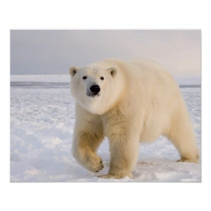 polar bear, Ursus maritimus, on ice and snow, 2 Poster