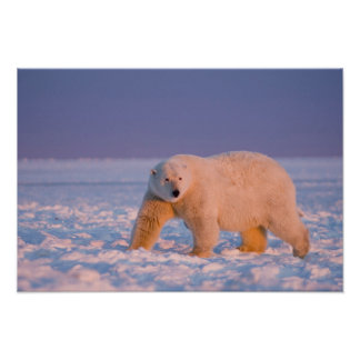 polar bear, Ursus maritimus, on ice and snow, 2 Poster