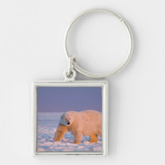 polar bear, Ursus maritimus, on ice and snow, 2 Silver-Colored Square Keychain