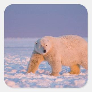 polar bear, Ursus maritimus, on ice and snow, 2 Square Sticker