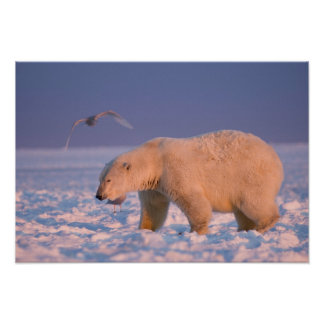 polar bear, Ursus maritimus, on ice and snow, 3 Poster