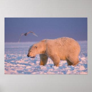 polar bear, Ursus maritimus, on ice and snow, 3 Posters
