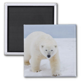 polar bear, Ursus maritimus, on ice and snow, Magnet