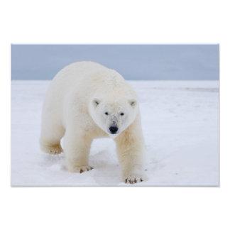 polar bear, Ursus maritimus, on ice and snow, Photo Print