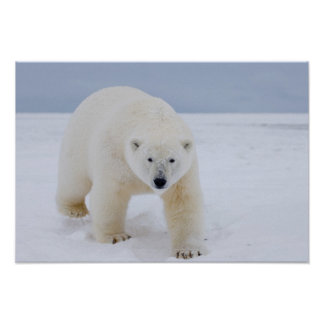 polar bear Ursus maritimus on ice and snow Posters