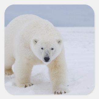 polar bear, Ursus maritimus, on ice and snow, Square Sticker