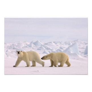 polar bear, Ursus maritimus, pair in rough ice Photo Print