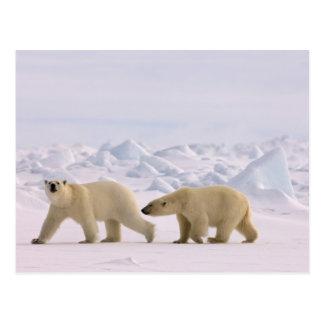 polar bear, Ursus maritimus, pair in rough ice Post Card