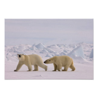 polar bear, Ursus maritimus, pair in rough ice Poster