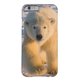 polar bear, Ursus maritimus, polar bear on ice Barely There iPhone 6 Case