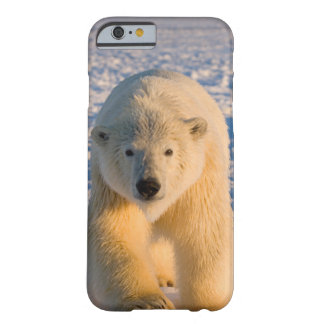 polar bear, Ursus maritimus, polar bear on ice Barely There iPhone 6 Case