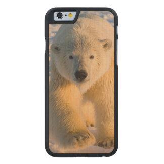 polar bear, Ursus maritimus, polar bear on ice Carved® Maple iPhone 6 Case
