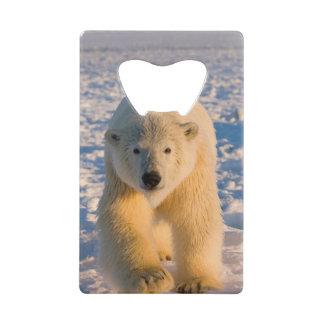 polar bear, Ursus maritimus, polar bear on ice Credit Card Bottle Opener