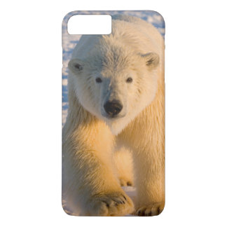 polar bear, Ursus maritimus, polar bear on ice iPhone 8 Plus/7 Plus Case