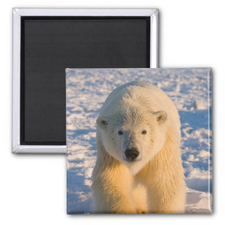 polar bear, Ursus maritimus, polar bear on ice Magnet