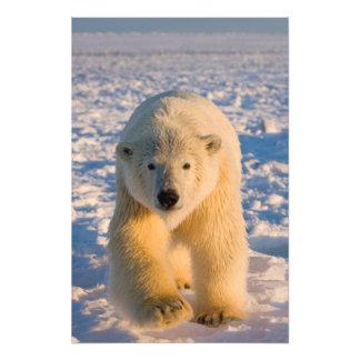 polar bear, Ursus maritimus, polar bear on ice Photo Print