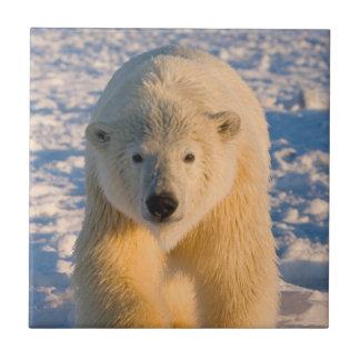 polar bear, Ursus maritimus, polar bear on ice Tile