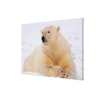 polar bear, Ursus maritimus, resting on the Canvas Print