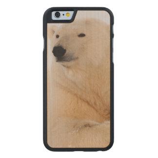 polar bear, Ursus maritimus, resting on the Carved Maple iPhone 6 Slim Case