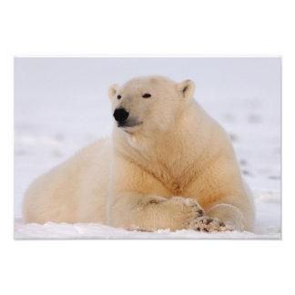 polar bear, Ursus maritimus, resting on the Photo Print