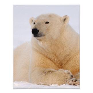 polar bear Ursus maritimus resting on the Photograph