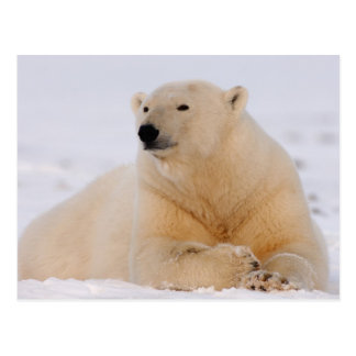 polar bear, Ursus maritimus, resting on the Postcard