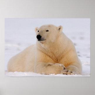 polar bear, Ursus maritimus, resting on the Poster