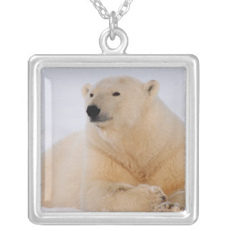polar bear, Ursus maritimus, resting on the Silver Plated Necklace