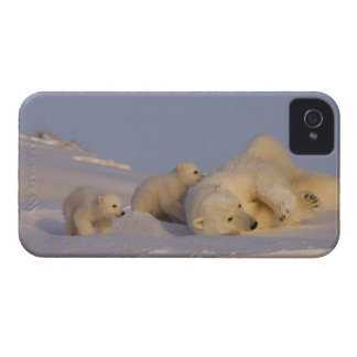 polar bear, Ursus maritimus, sow playing with Blackberry Bold Cases