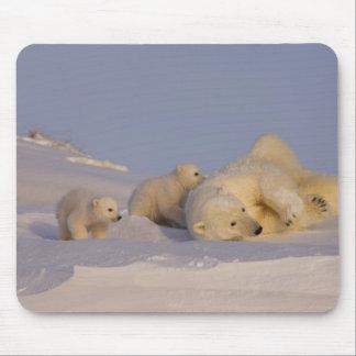 polar bear, Ursus maritimus, sow playing with Mousepad