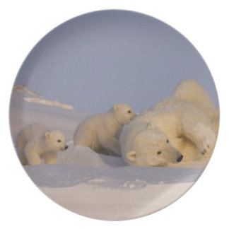polar bear, Ursus maritimus, sow playing with Party Plate