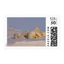 polar bear, Ursus maritimus, sow playing with Postage