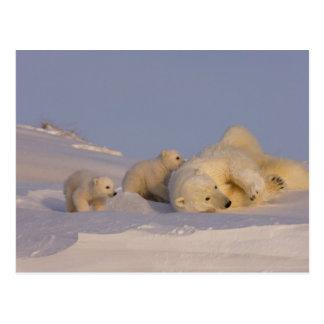polar bear, Ursus maritimus, sow playing with Post Card