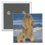polar bear, Ursus maritimus, sow with cub 2 2 Inch Square Button