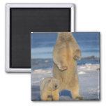 polar bear, Ursus maritimus, sow with cub 2 Fridge Magnets
